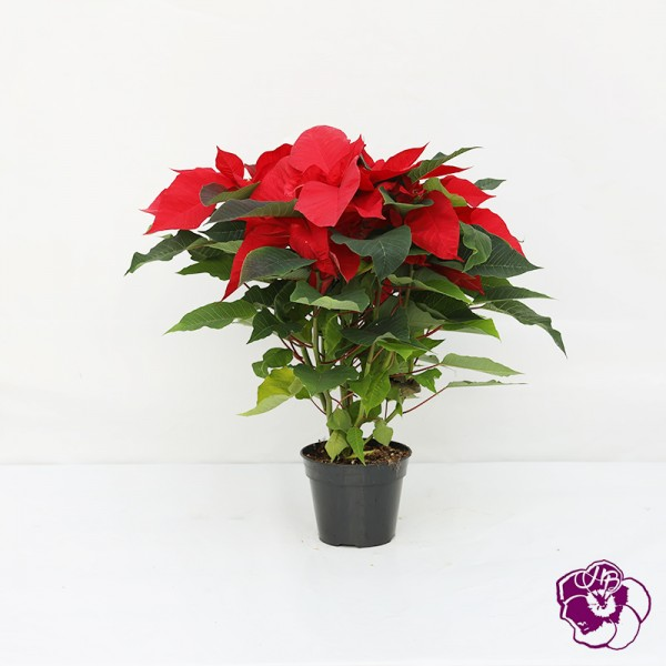 Poinsettia Rouge