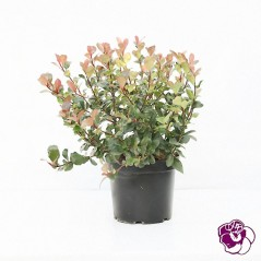 Photinia Nain