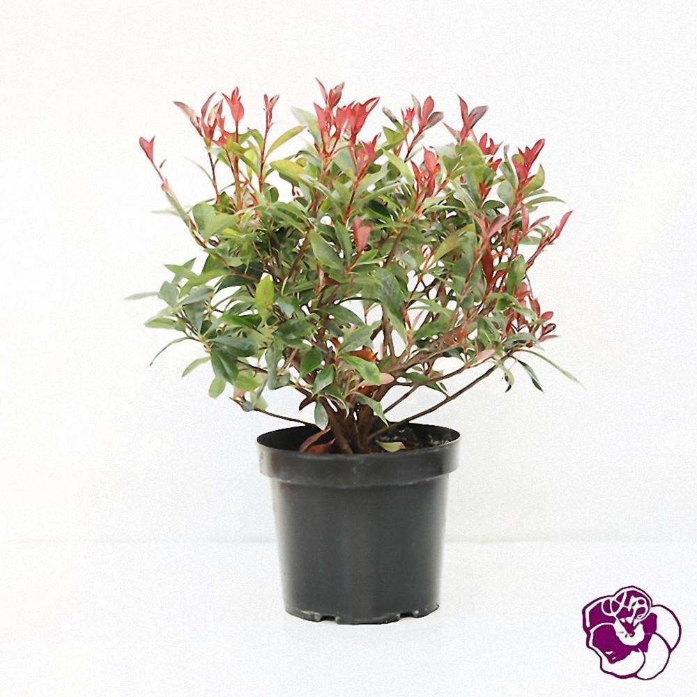 Photinia Carré Rouge
