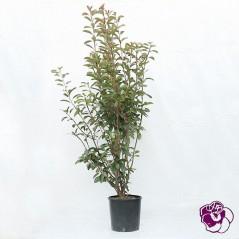 Photinia touffe
