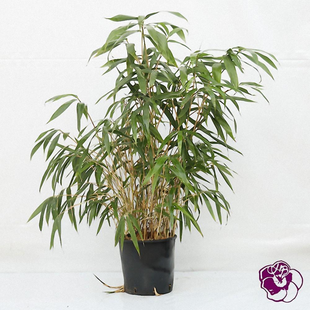 Bambou Métaké