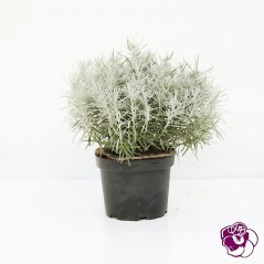 Hélicrysum