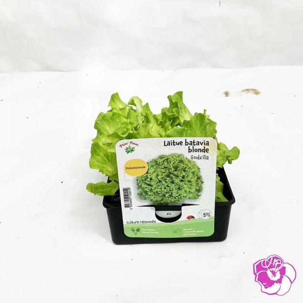 Salade Laitue Batavia Blonde