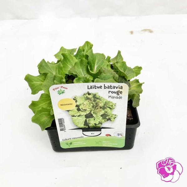 Salade Laitue Batavia Rouge