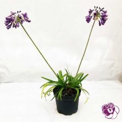 Agapanthe violette
