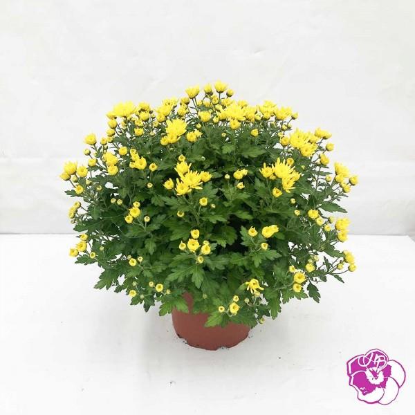 Chrysanthème Petites Fleurs