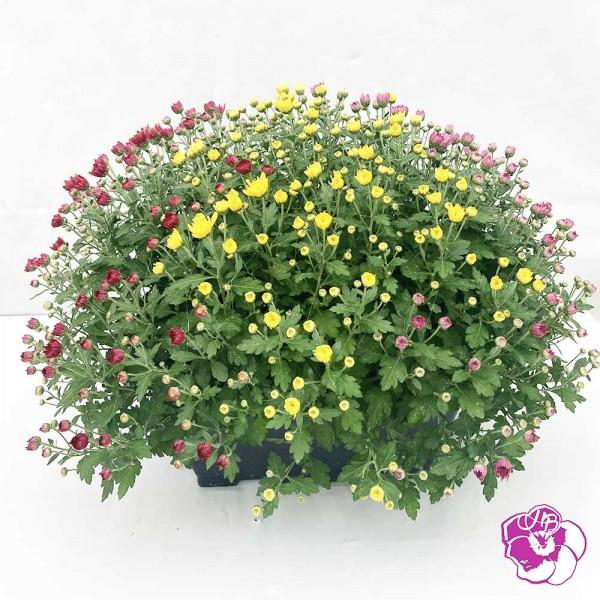 Chrysanthème Petites Fleurs Jardinière