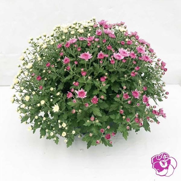 Chrysanthème Petites Fleurs Coupe
