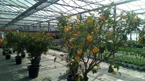 Conseils pour les Agrumes, Citronniers, Mandariniers, Orangers…